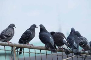 Effective Ways to Get Rid of Pigeon