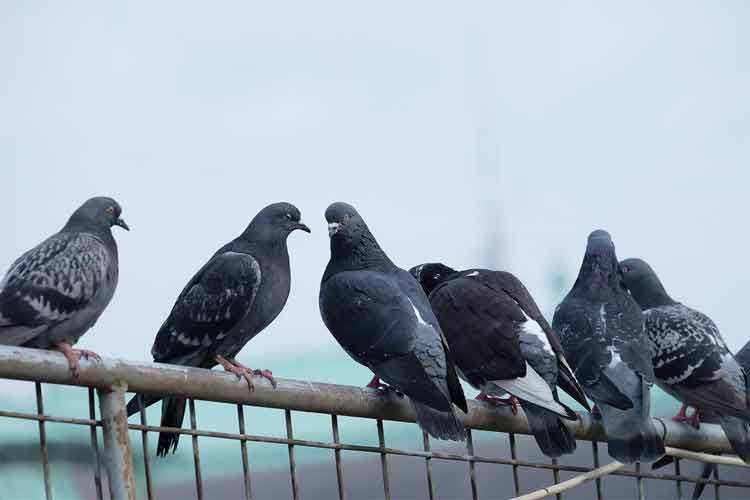 Effective Ways to Get Rid of Pigeon