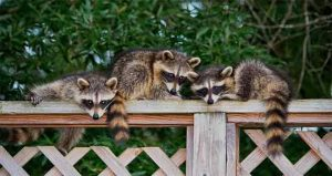 Don't Let Raccoons Mess Up Your Home